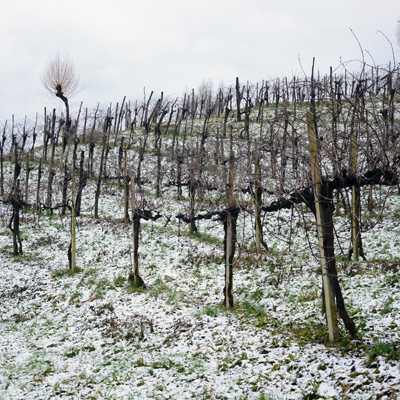 The wild vineyard of Monfumo
