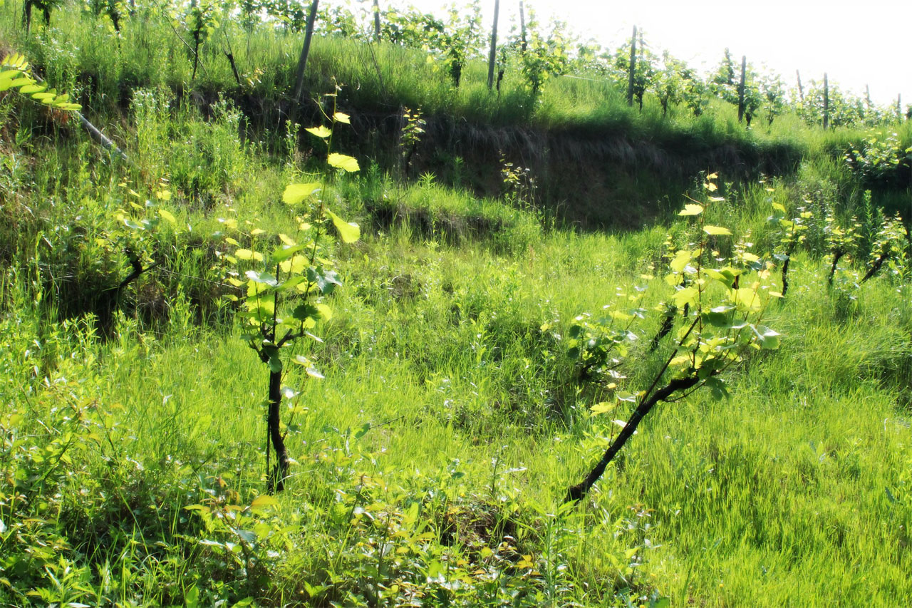 Riesling vines are still alive!